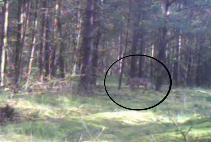 Wolf in Wald